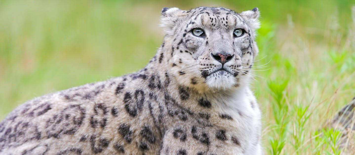 Protecting Snow Leopards In Central Asia