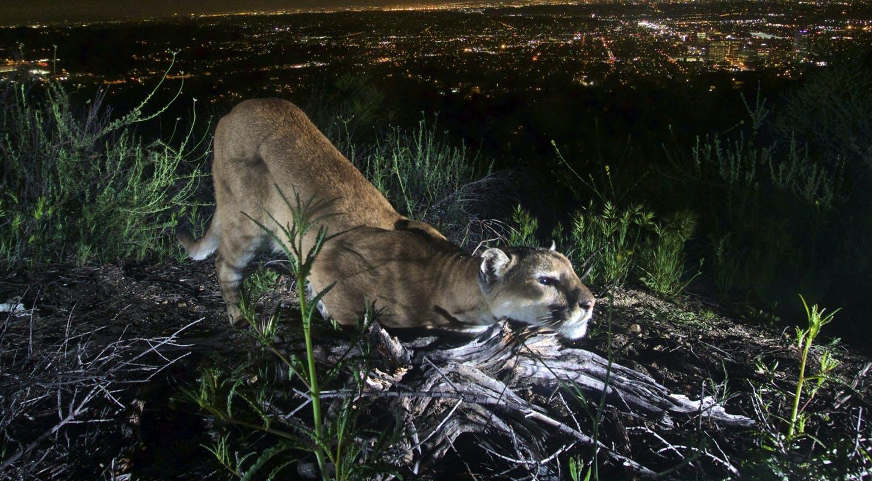 U S Mountain Lion Population Grantee spotlig...