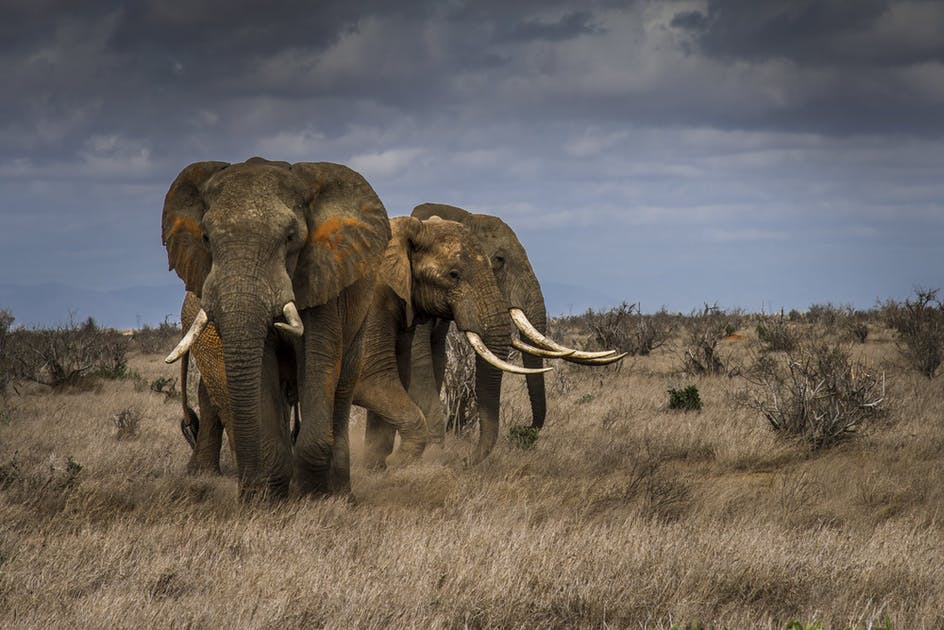 The Ivory Trade Elephant Crisis Fund