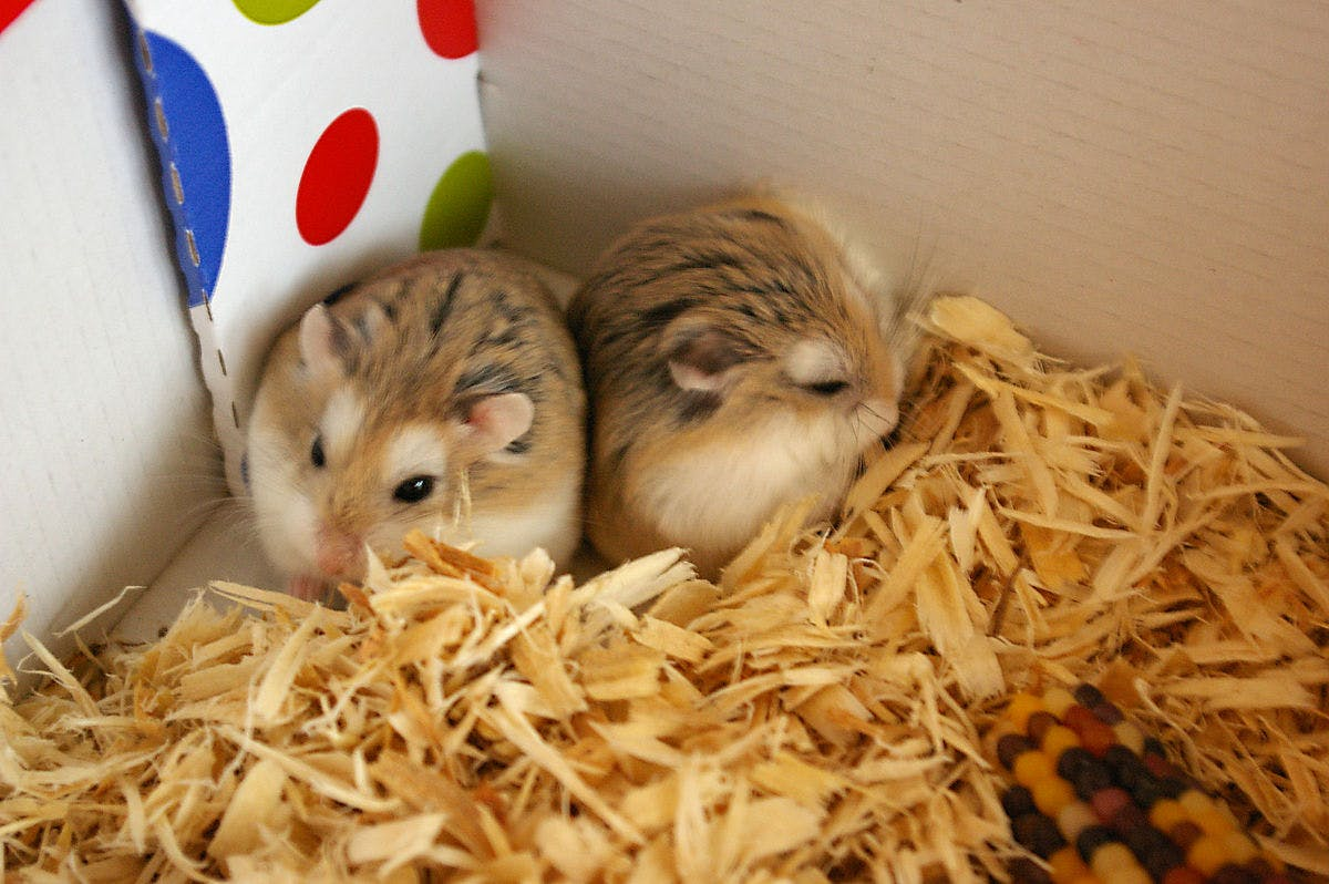 Here's what happens to hamster brains when they don't get enough play