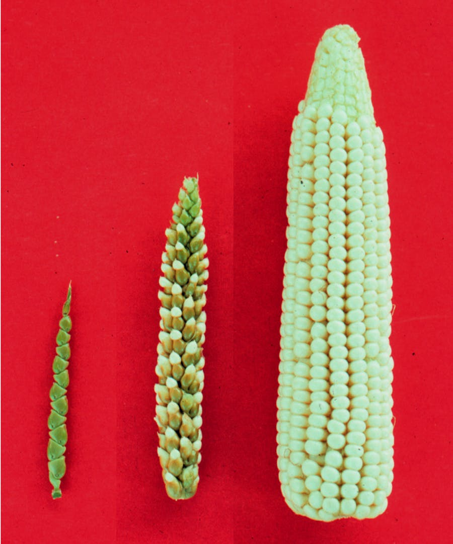 What ancient corn farmers can teach us about engineering crops for climate change