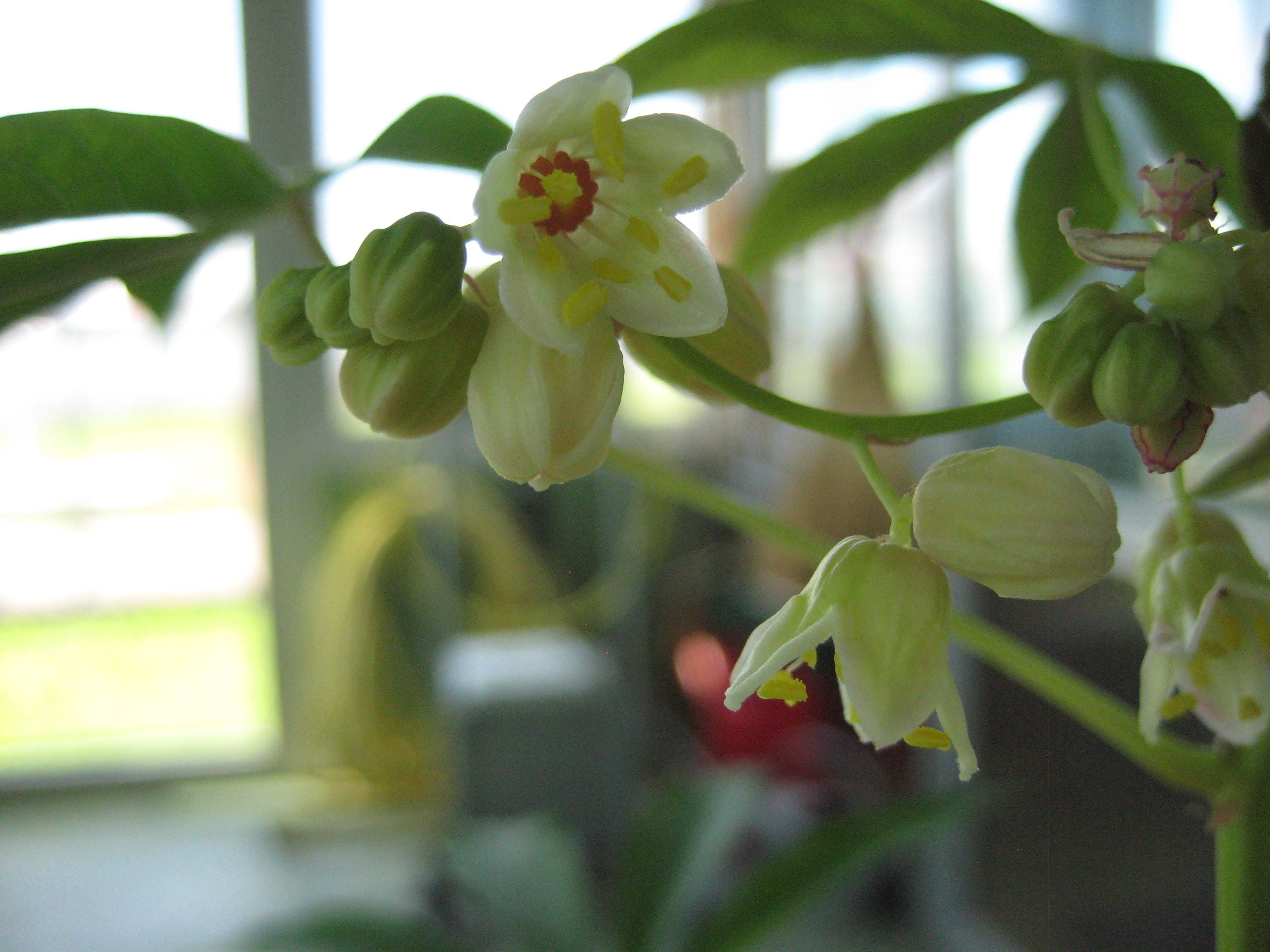 Small flowers of the Cassava plant with pale yellow petals and bright red centers